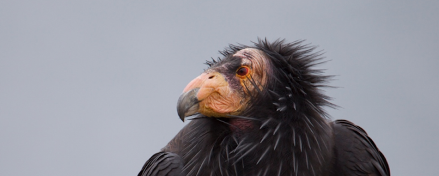 California condor in Big Sur, CA. Photo credit: Christopher Tubbs