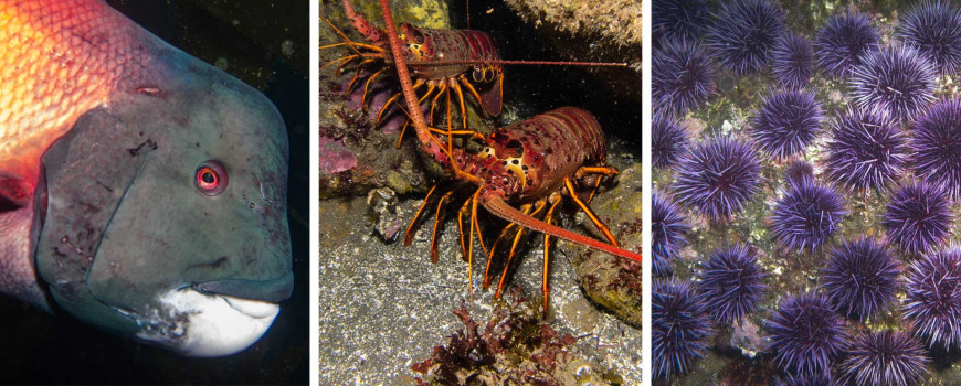 (Left to right) Male California sheephead, spiny lobsters, and purple urchins. Photo credit: Ed Bierman