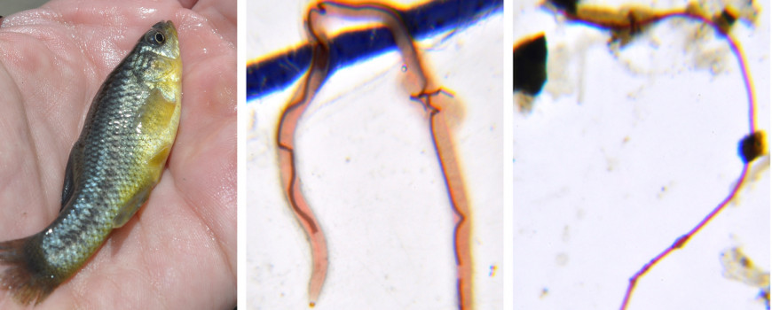 killifish (left) a seaweed (middle) and plastic fiber (right) all found in a fish stomach