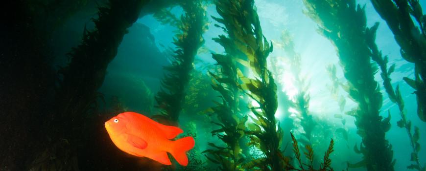 A garibaldi swims through a California Marine Protected Area. Credit: NOAA