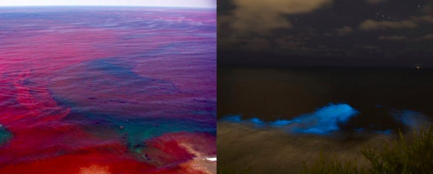 Izquierda: una marea roja durante el día. Derecha: una marea roja bioluminiscente durante la noche.