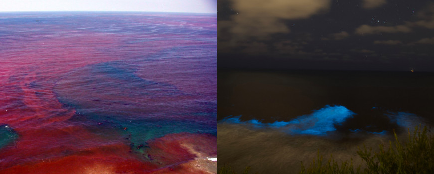 left: red tide during day, right, red tide biolumniscence at night