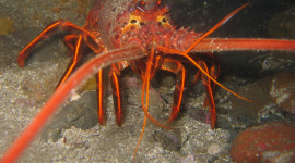 California Spiny Lobster