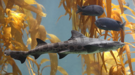 Leopard Shark in kelp forest