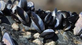 Mediterranean mussels on rock