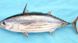 Pacific skipjack tuna