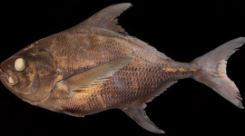 sickle pomfret or monchong