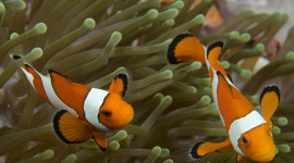 The green clownfish is a recommended option for beginning hobbyists.