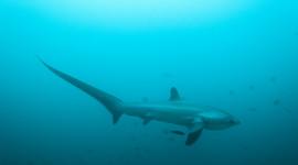 Pacific Common Thresher Shark