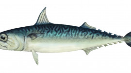 Pacific_mackerel