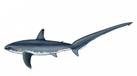 Pacific Common Thresher Shark