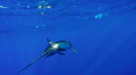 Swordfish in ocean