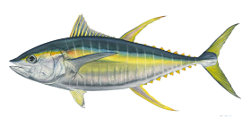 Drawing of yellowfin tuna