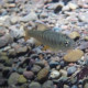Coho salmon young-of-year