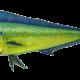 Dorado (Mahi Mahi)
