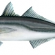 fishspecies.nz