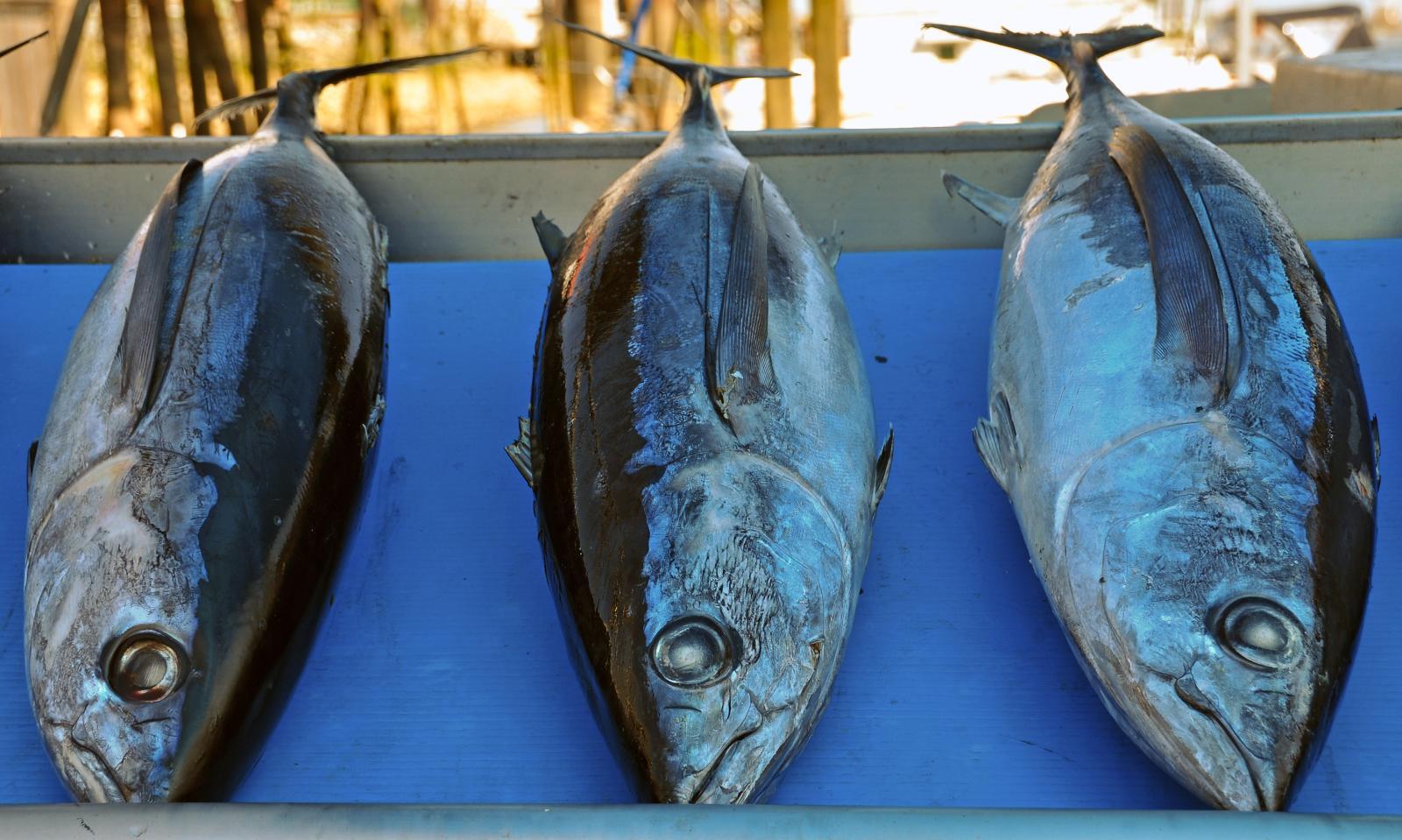 Three albacore tunas