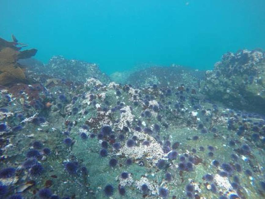Urchin barren - reefcheck
