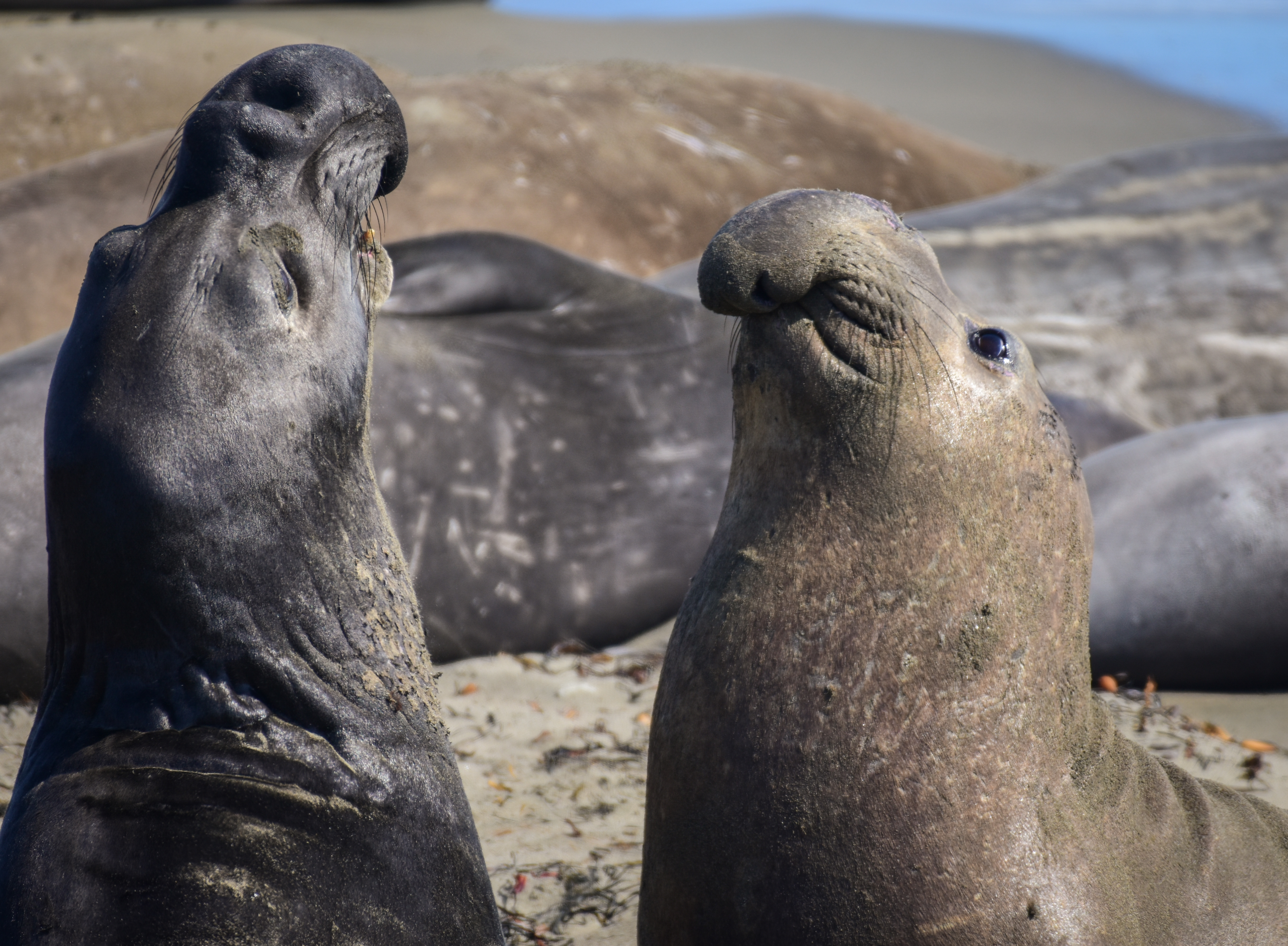 Two northern elephant seals face off