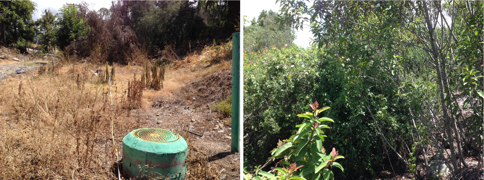 Fig. 3. Paired restoration (L) and reference (R) plots facing upstream in Manzanita Canyon in 2016. Note the dominance of invasive annual plants and disturbed ground in the restoration plot compared to the native woody perennial community in the reference plot.
