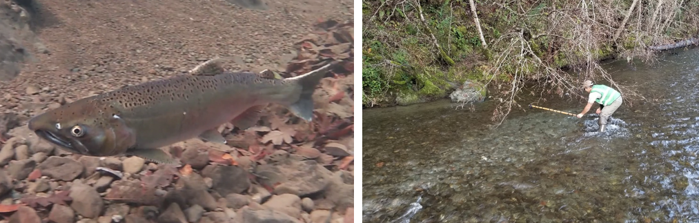 Coho salmon and biologist measuring a redd.