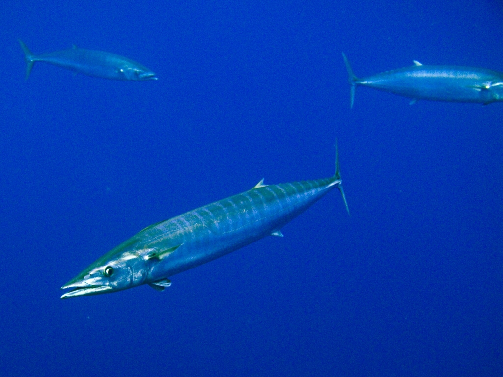 three Pacific wahoo in ocean