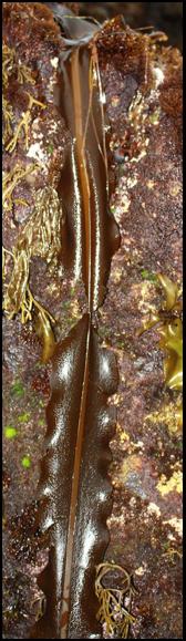 brown seaweed on a rock
