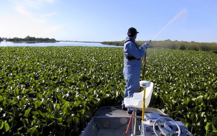 person spraying water hyacinth