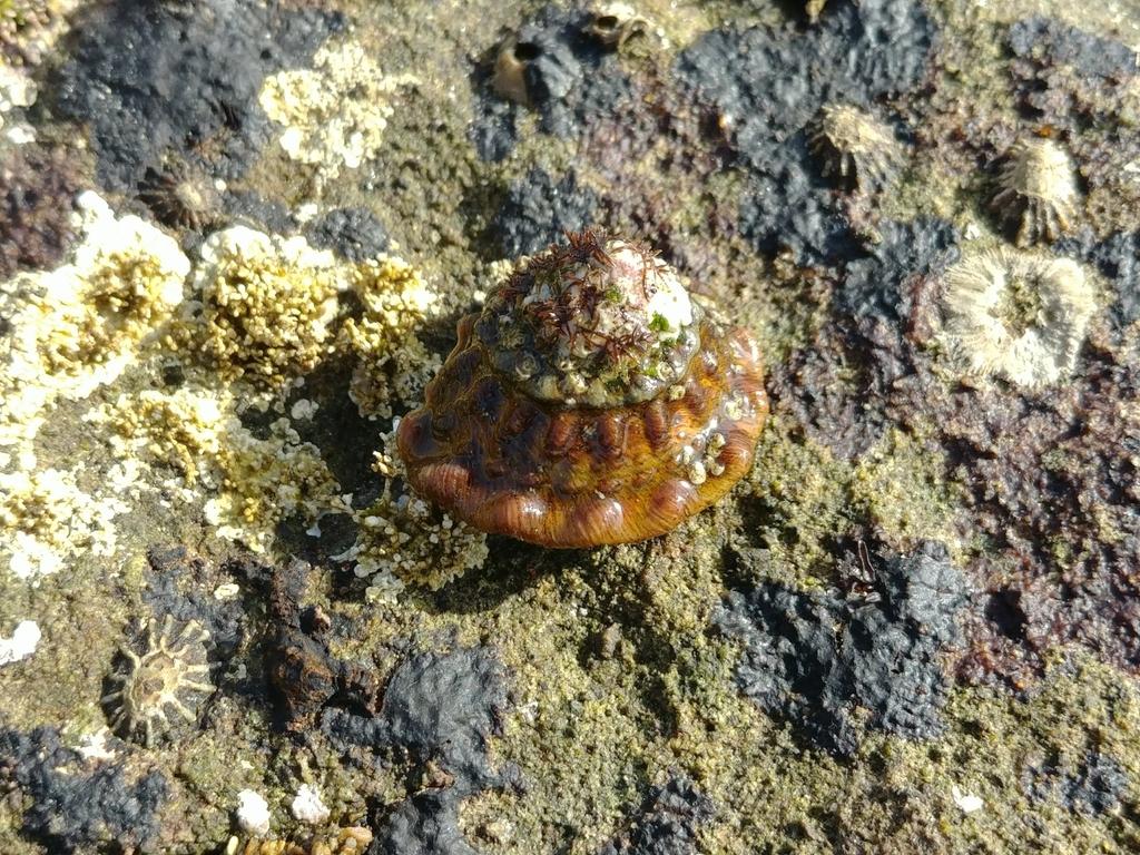 Wavy Turban Snail on rock.