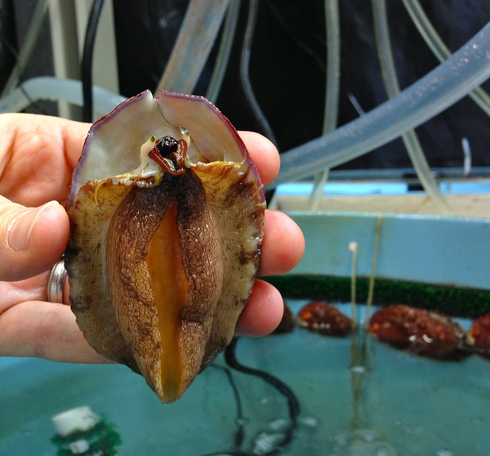 The face of a white abalone.