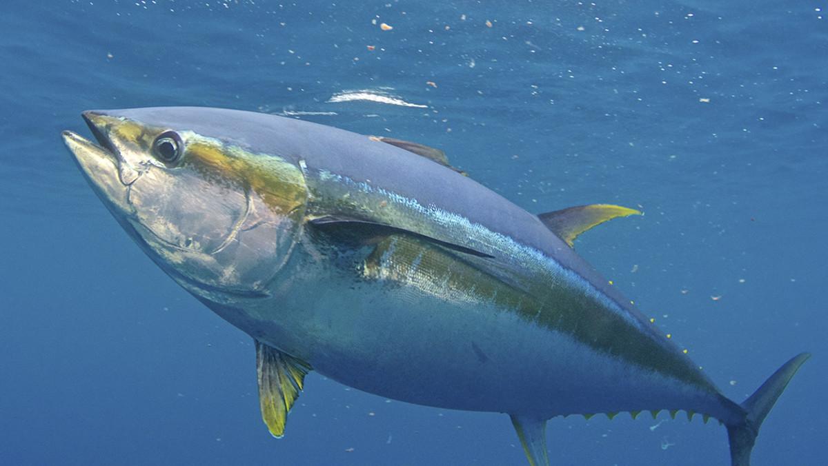 yellowfin_tuna