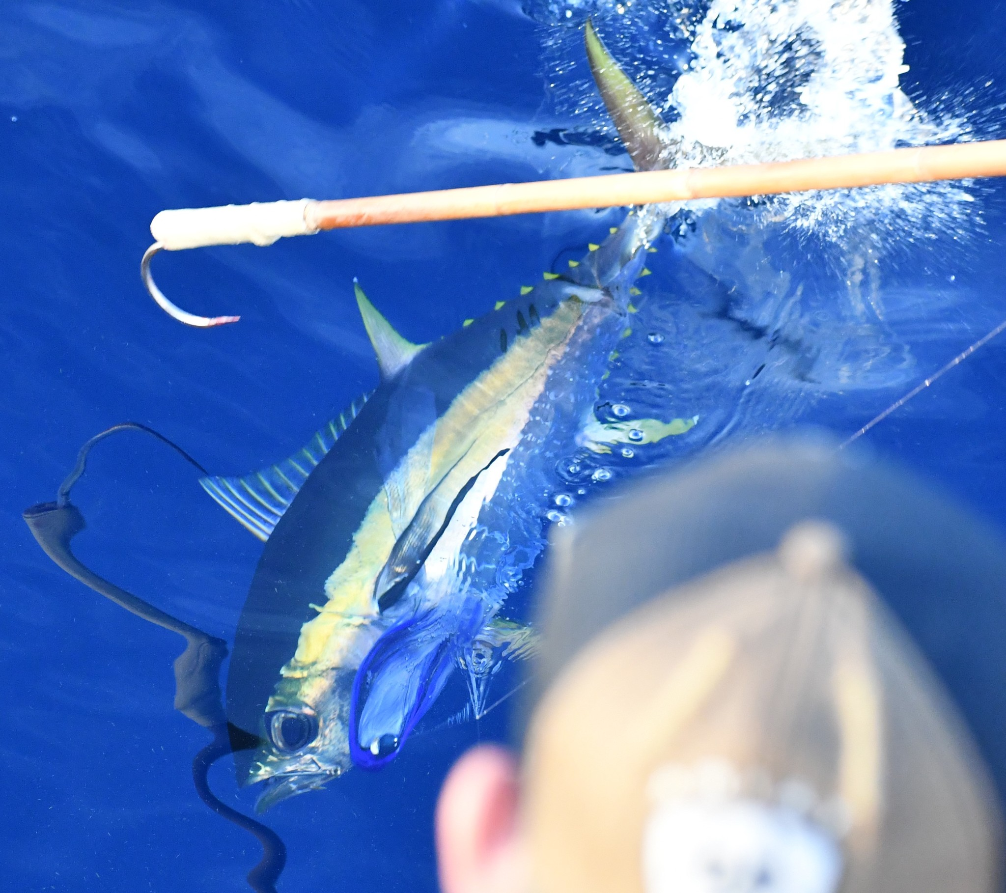 yellowfin tuna fighting a fishing line, a person's head and a gaffing hook is in view
