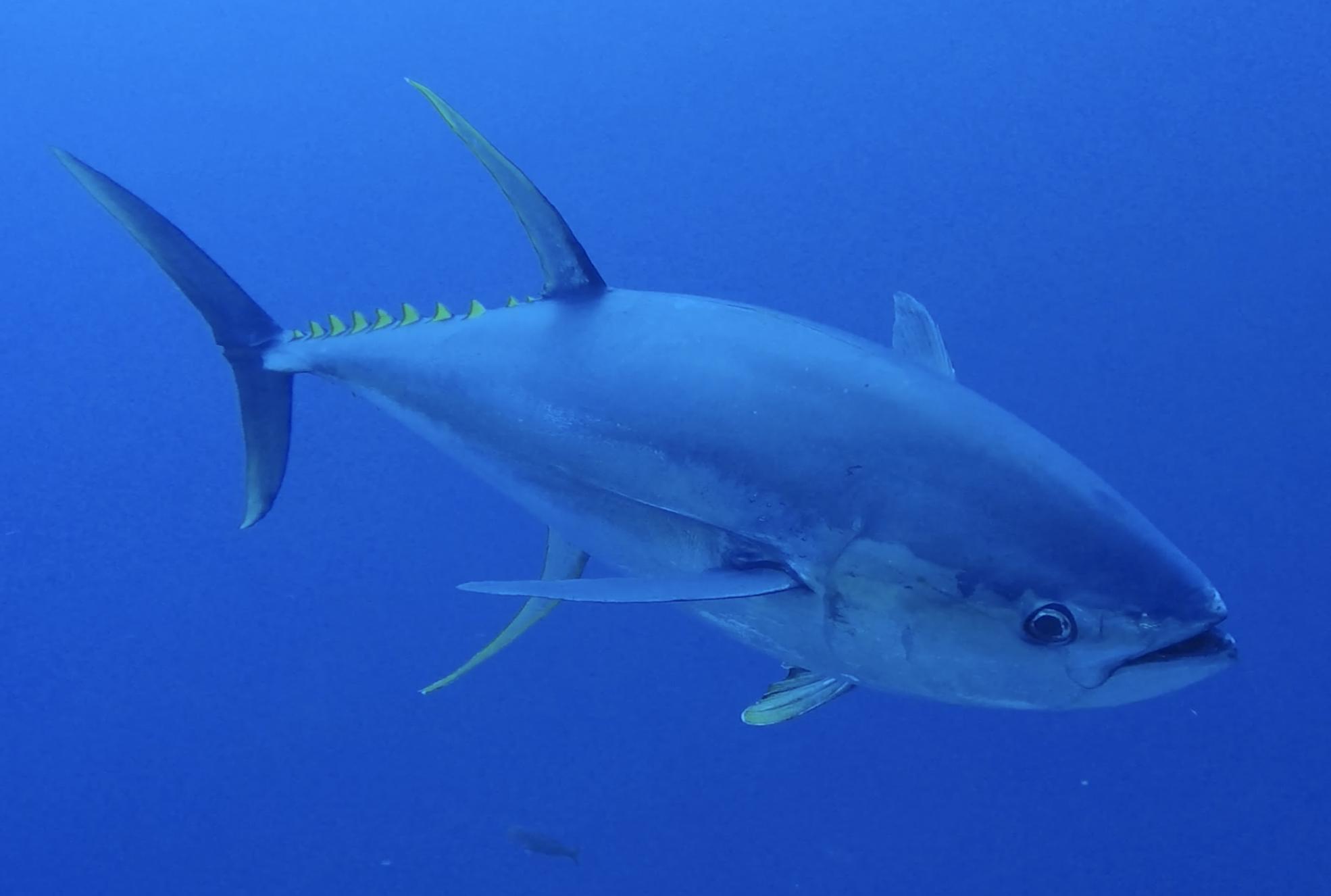 yellowfin tuna in ocean