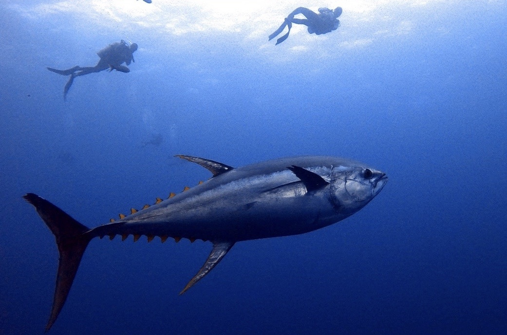 yellowfin tuna with scuba divers in background