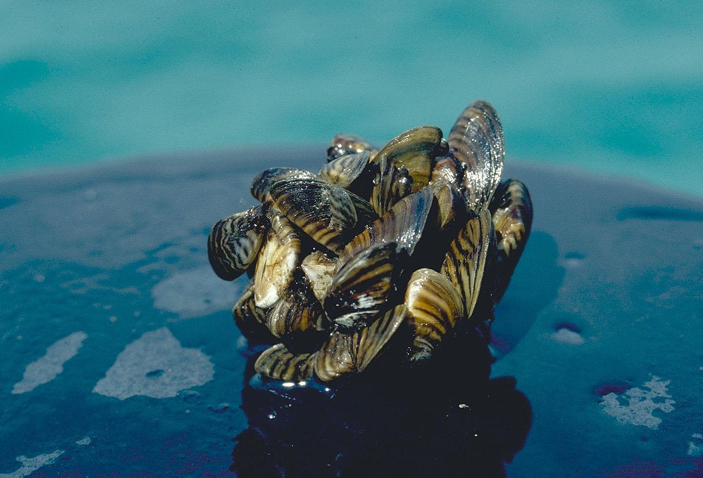 Zebra mussel cluster